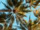 Port Douglas Palm Trees